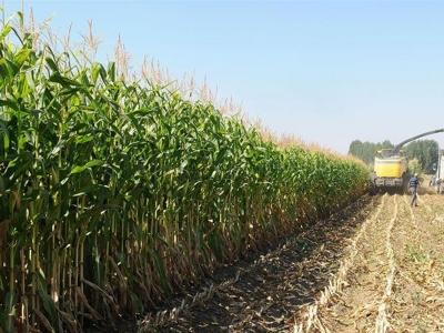 Silajlık mısırdan ekonomiye 100 milyonluk katkı
